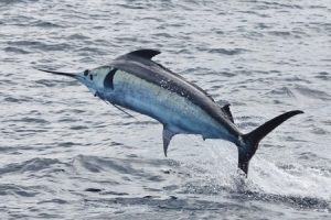 marlin costa rica cazador fishing